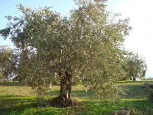 olive-tree-in-the-sun
