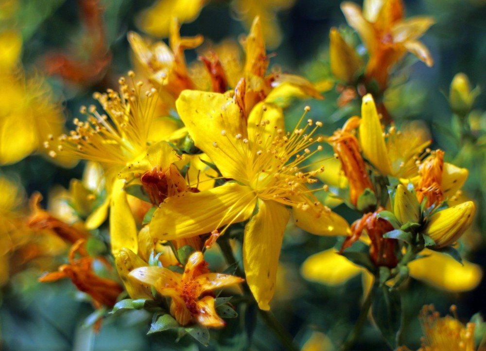 St. John's Wort flower Hypericum Perforatum summer flowers inspire beauty